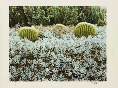 Three Barrel Cactus