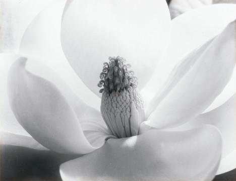 Imogen Cunningham, Magnolia Blossom